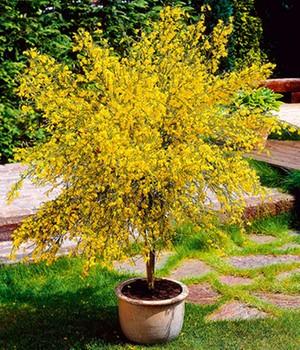 Sehr Ginster (Cytissus praecox) Pflege Tipps QD54