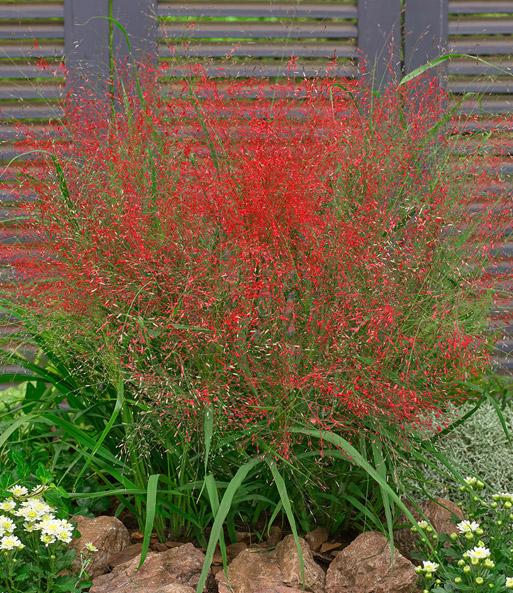 Ziergras Garten ziergräser pflege tipps pflanzen schneiden standort
