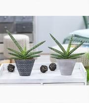 sanseveria 39 skyline 39 im keramiktopf 1a zimmerpflanzen online kaufen baldur garten. Black Bedroom Furniture Sets. Home Design Ideas