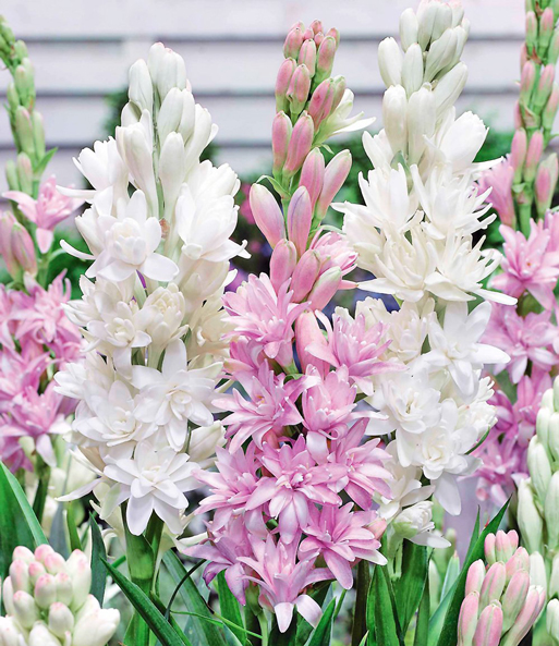 Duft-Tuberose 'The Pearl & Pink Saphier'