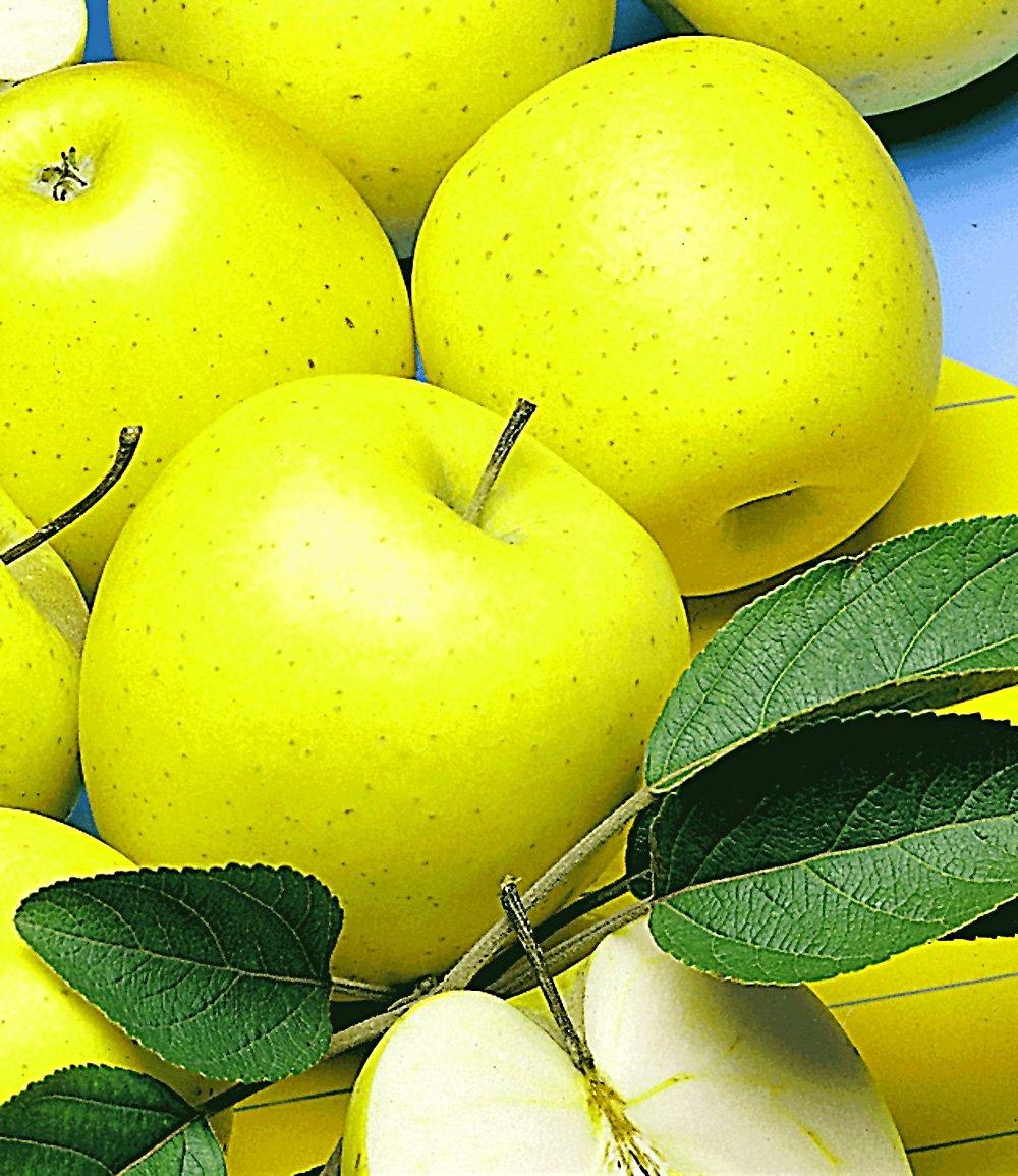Säulen-Apfel 'Golden Delicious'