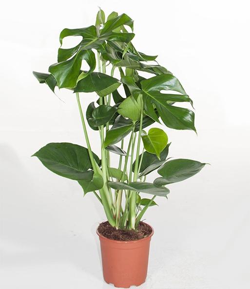 Monstera fensterblatt ca 50 cm h gr npflanzen bei baldur garten - Zimmerpflanze monstera ...