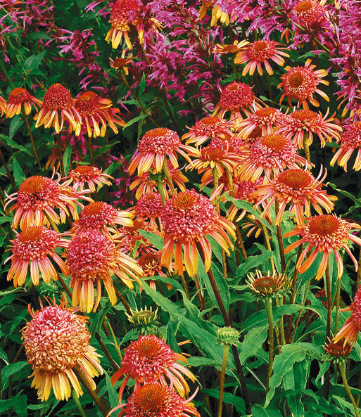 echinacea 39 secret desire 39 gartenstauden bei baldur garten. Black Bedroom Furniture Sets. Home Design Ideas