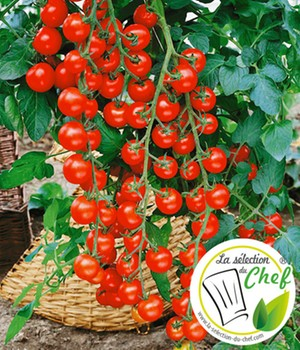 Veredelte Kirsch-Tomate 'Pepe' F1