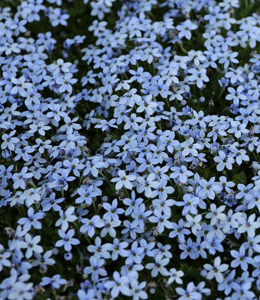 isotoma blue foot 1a pflanzen online kaufen baldur garten. Black Bedroom Furniture Sets. Home Design Ideas