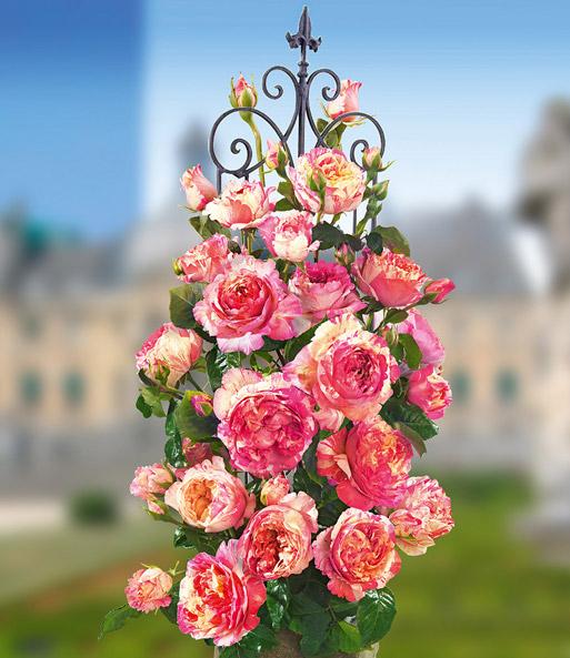 Kletternde MalerRose Claude Monet  BaldurGarten