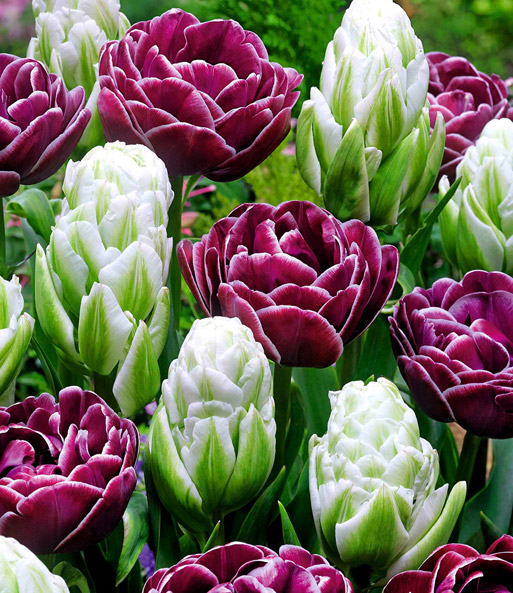 Tulpen-Mix 'Spring Flash'