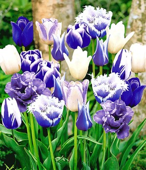 Tulpen-Mix 'Perfect Partners®' 'Blue Blend'