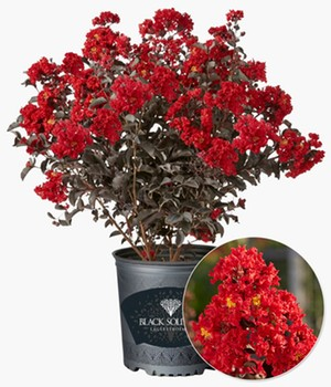 Lagerstroemia Black Solitaire® 'Best Red'