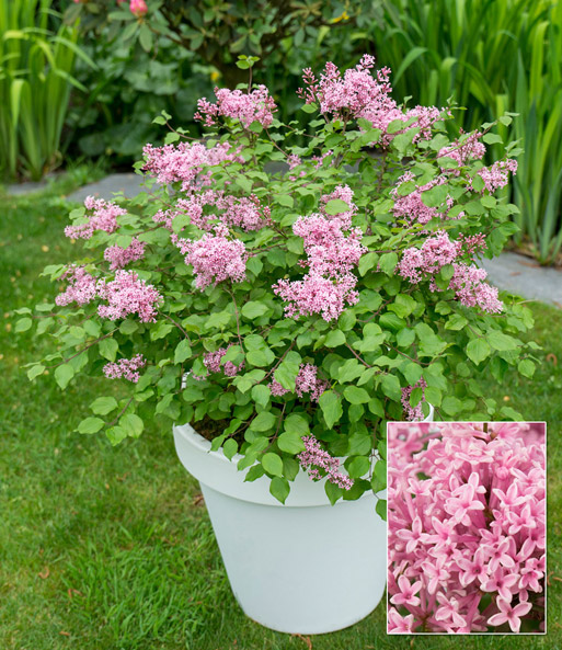 Flieder flowerfest pink top qualit t baldur garten for Flieder bilder