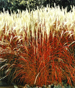 Ziergras 'Indian Summer'