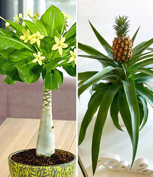 Zimmerpflanzen Mix Sudsee Bluhende Zimmerpflanzen Bei Baldur Garten