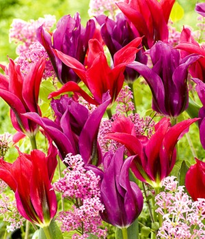 Tulpen-Mix 'Purple Doll & Minuet'