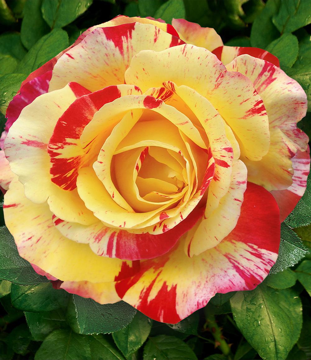 Maler-Rose® 'Camille Pissarro®'