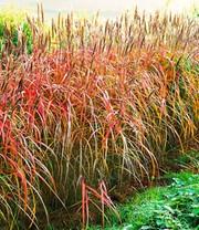 Winterharte Bambushecke 1a Pflanzen Kaufen Baldur Garten