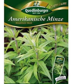 Amerikanische Bergminze 'Mountain Mint'