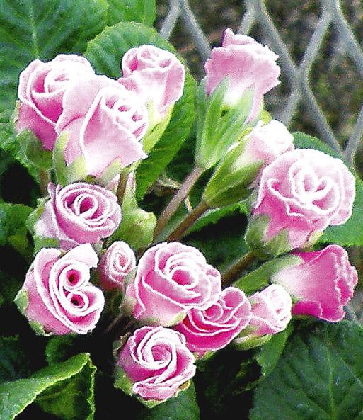 rosen primula 39 farb mix 39 blumenstauden bei baldur garten