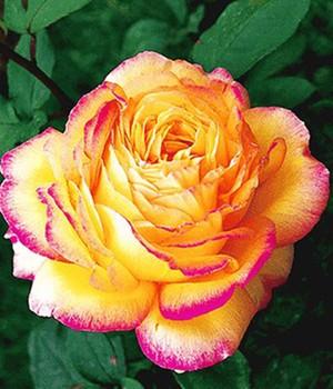 georges delbard rosen online kaufen bestellen bei baldur garten. Black Bedroom Furniture Sets. Home Design Ideas