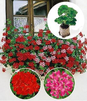 geranien easyplant online kaufen bestellen bei baldur garten. Black Bedroom Furniture Sets. Home Design Ideas