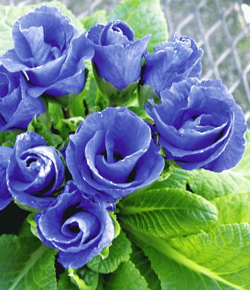 Rosen-Primula \'Königsblau\' | Beetstauden bei BALDUR-Garten