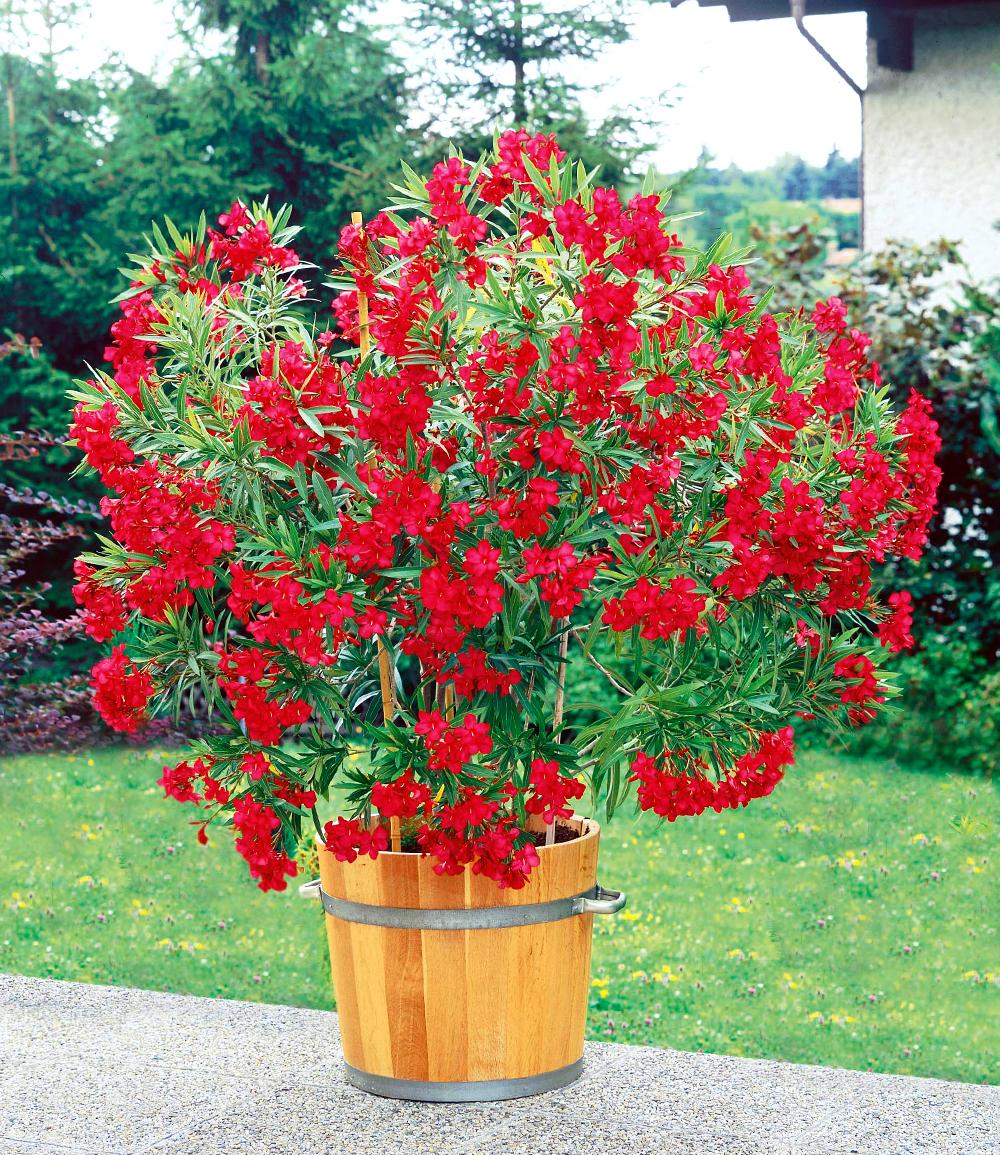 Oleander 'Classico Rot'