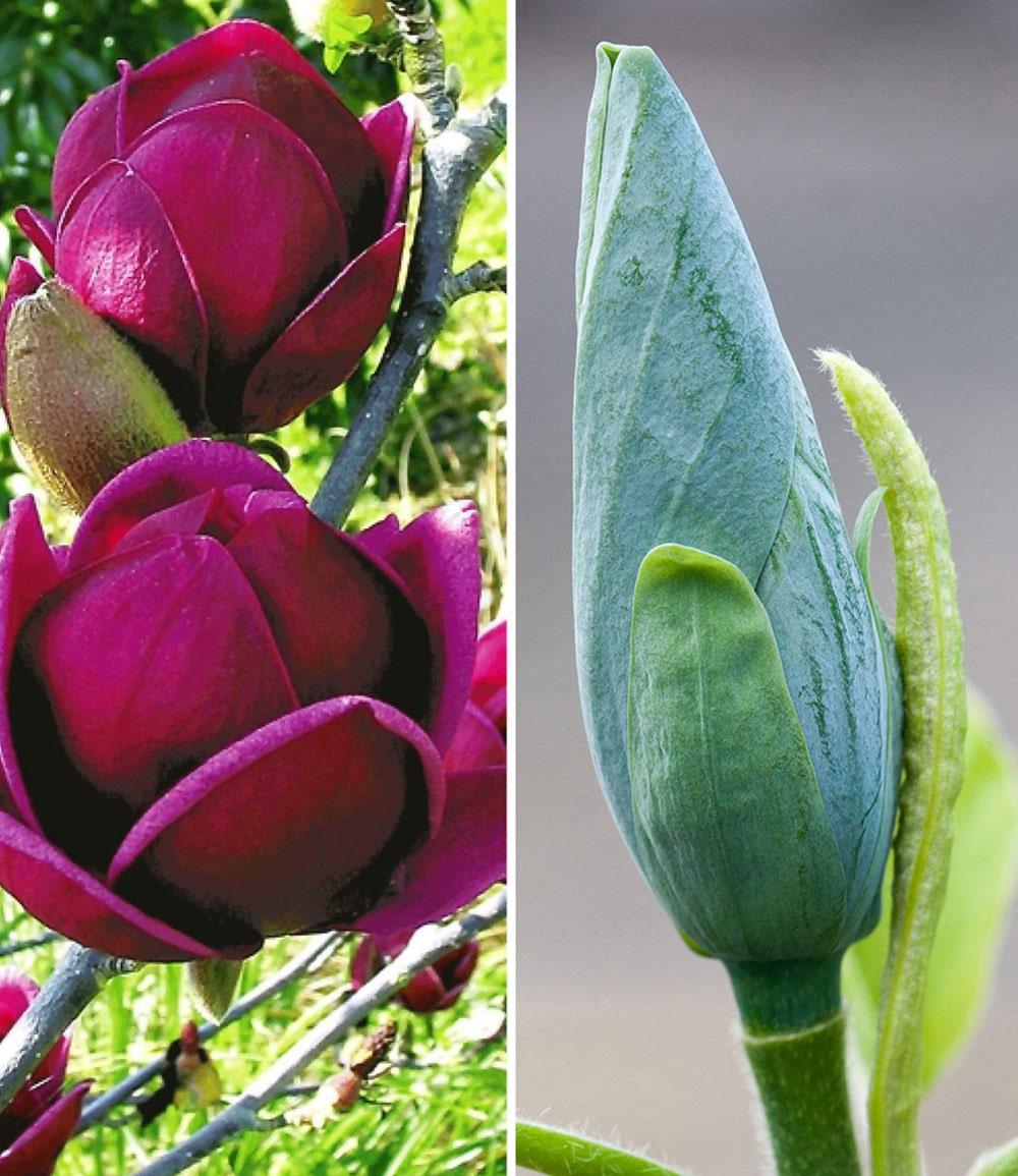Magnolien-Sortiment zum Vorteilspreis