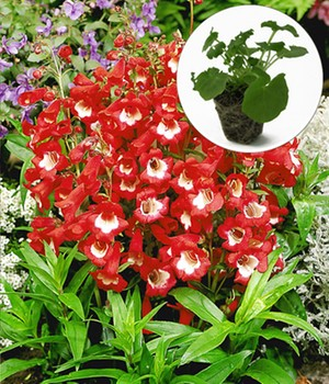 Bartfaden 'Polaris Red'
