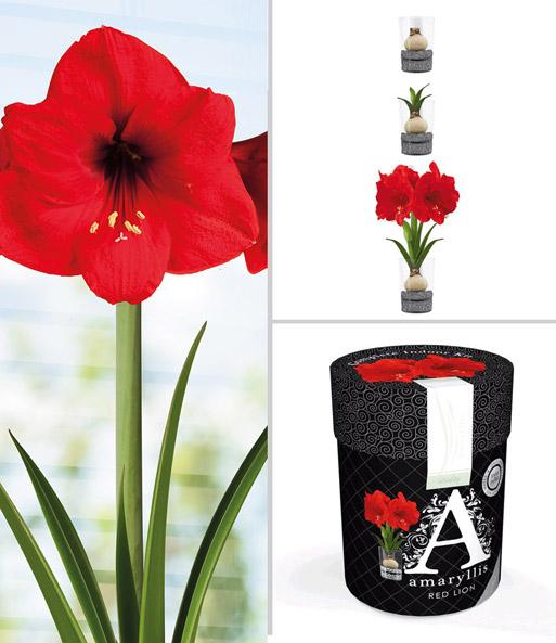 amaryllis im glas 39 red lion 39 zimmerpflanzen mit bertopf bei baldur garten. Black Bedroom Furniture Sets. Home Design Ideas