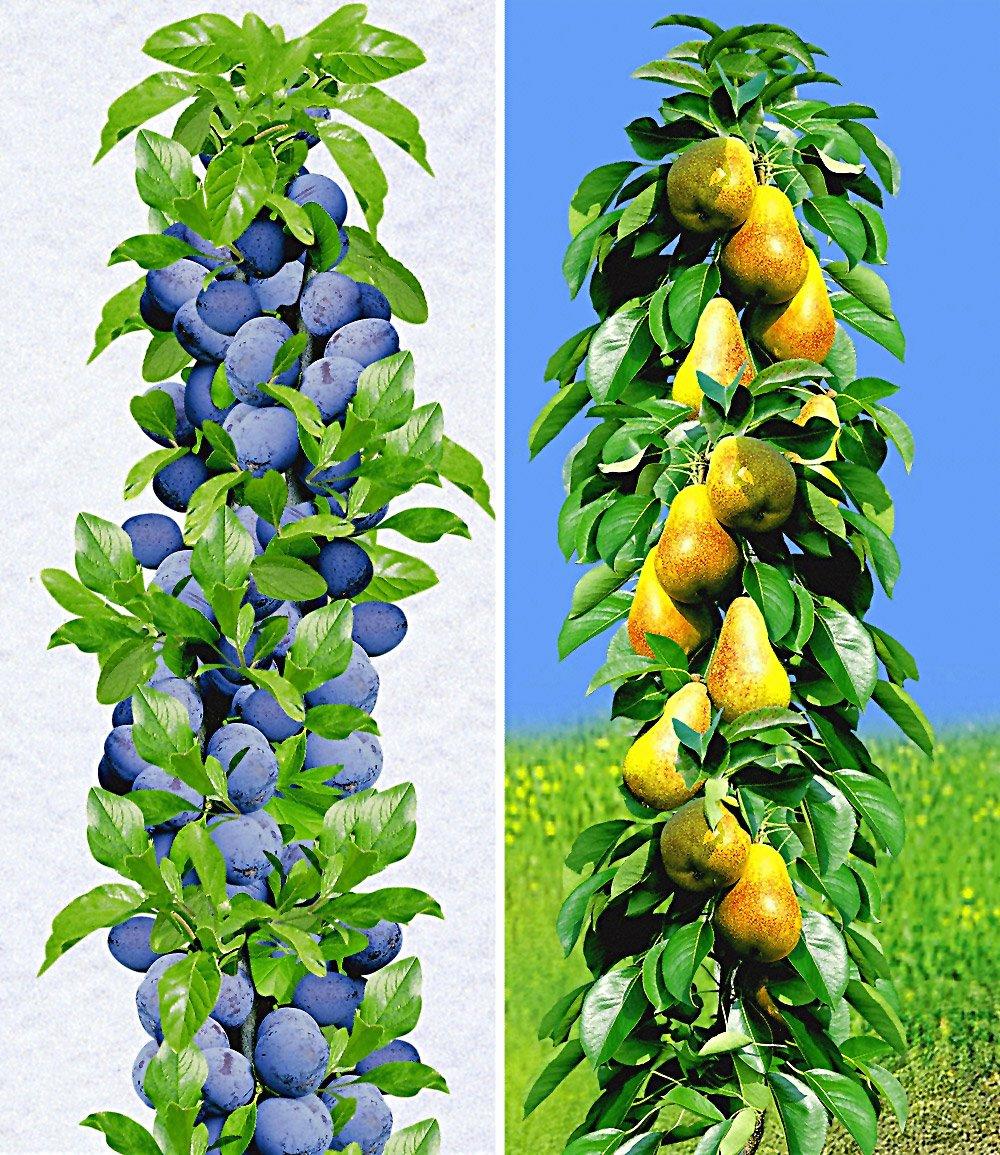 Säulen-Obst-Kollektion Birne & Zwetschge