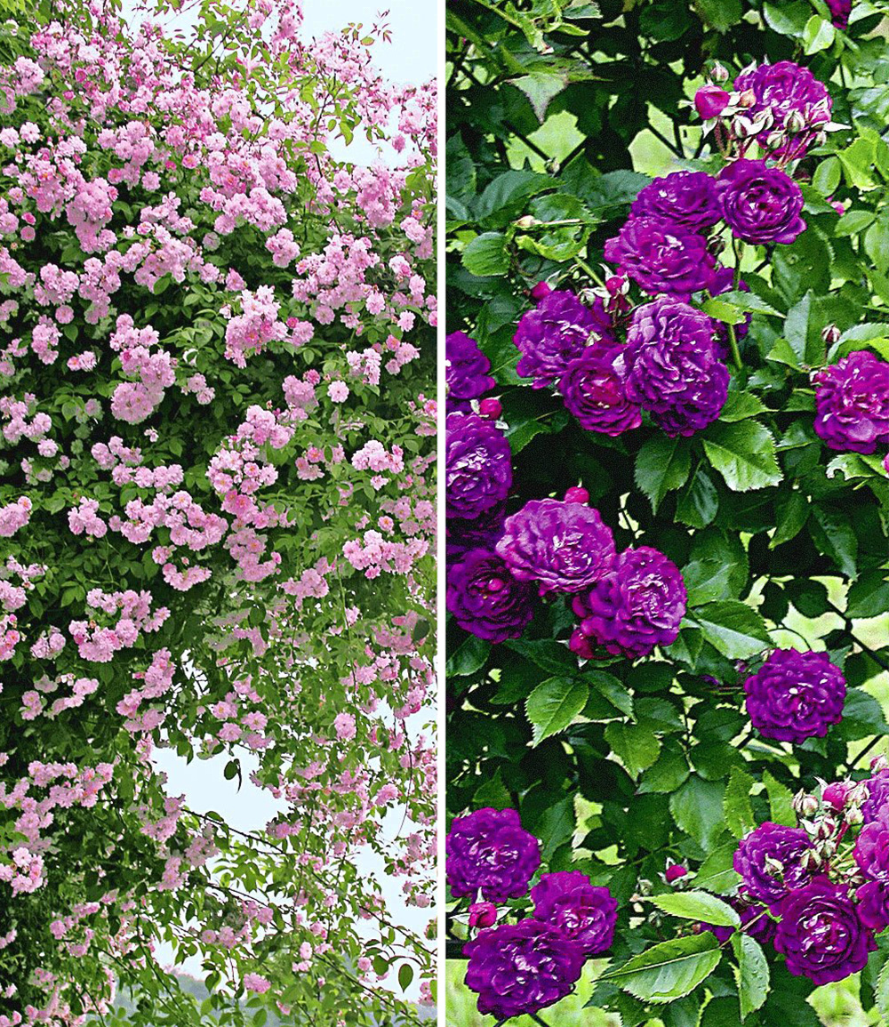 Rambler-Rosen-Kollektion blau und rosa