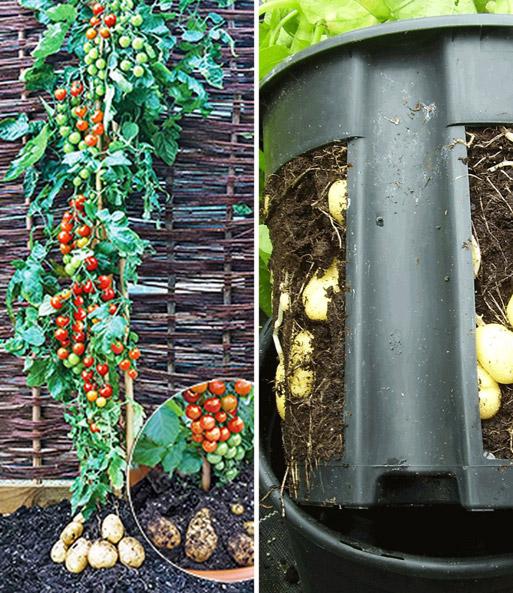 tomtato potatopot gem se pflanzen veredelt bei. Black Bedroom Furniture Sets. Home Design Ideas