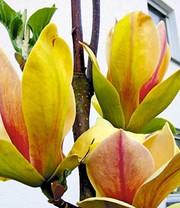 magnolie 39 genie 39 magnolie bei baldur garten. Black Bedroom Furniture Sets. Home Design Ideas
