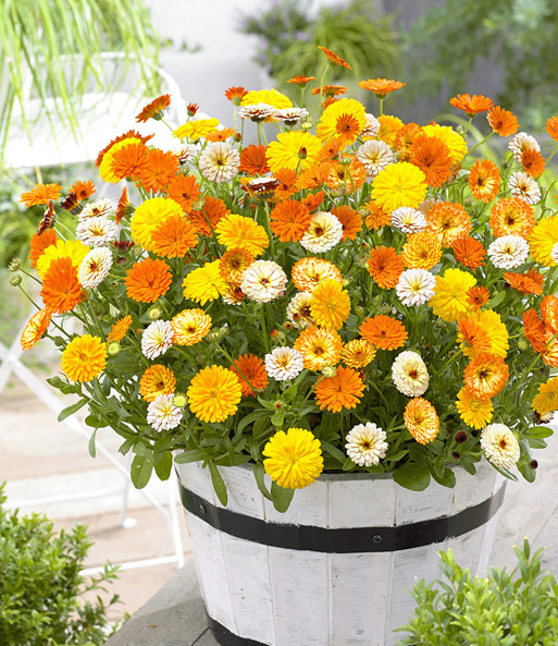 Winterharte Calendula 'Winter Wonders®' 'Golden Glaze'