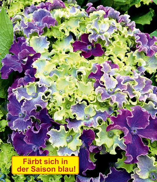 Freiland-Hortensie Curly® Sparkle Blue | Baldur-Garten