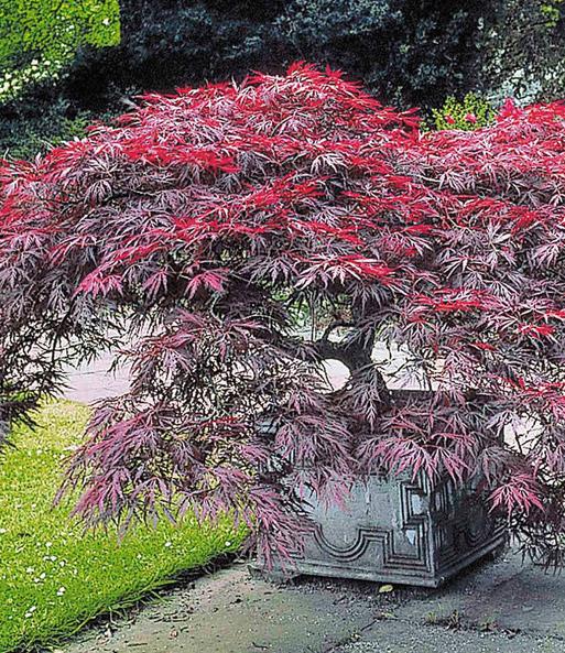 japanischer ahorn burgund bei baldur garten f cherahorn. Black Bedroom Furniture Sets. Home Design Ideas