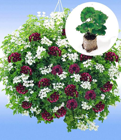 h nge geranien 39 royal night 39 jungpflanzen nur im internet bei baldur garten. Black Bedroom Furniture Sets. Home Design Ideas