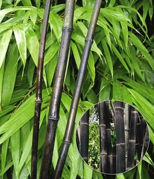 Bambus Pflege: Tipps Zur Pflege Von Winterhartem Bambus Bambus Im Garten Tipps