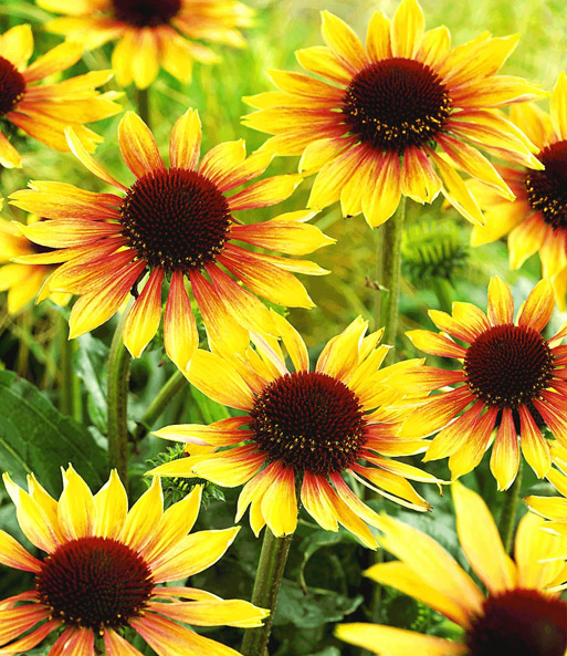 Duft-Echinacea 'Golden Summer'