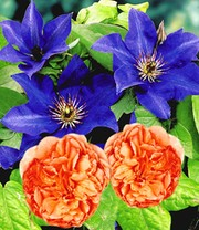 Set Clematis 'The President' &  Rose 'Papi Delbard®'