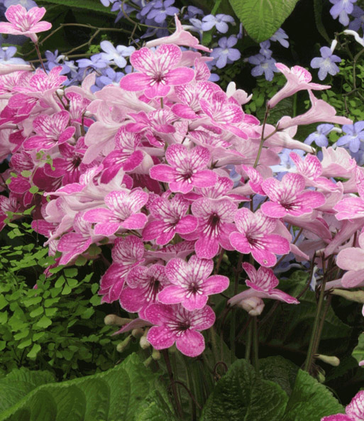 Streptocarpus 'Celebration'