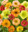 Geum-Mix 'Gardenbeauties'
