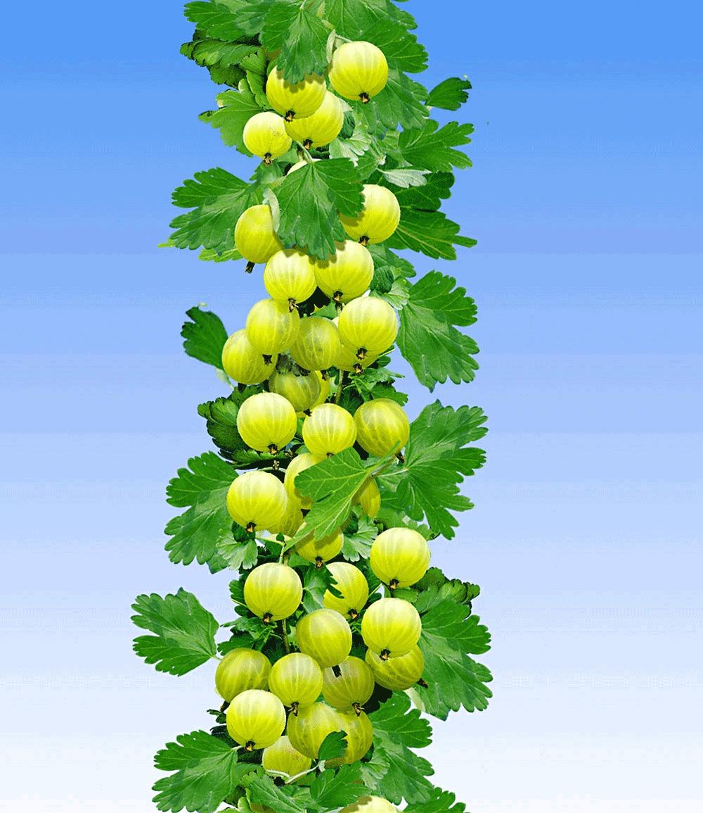 Gelbe Säulen-Stachelbeere