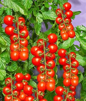 tomaten pflanzen online kaufen bestellen bei baldur garten. Black Bedroom Furniture Sets. Home Design Ideas
