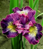 Iris 'Censation® How Audacious'
