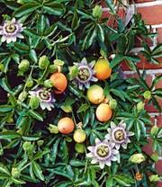 Pfeifenwinde kletterpflanzen bei baldur garten for Baldur garten erfahrung