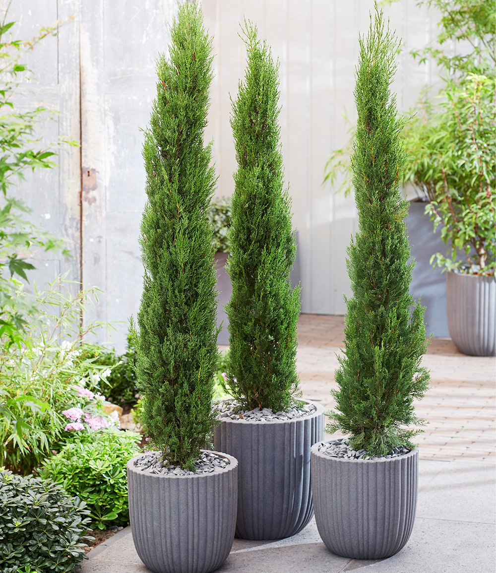 Echte Toskana 'Säulen-Zypresse'