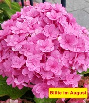 5-Stufen Hortensie 'Together®'