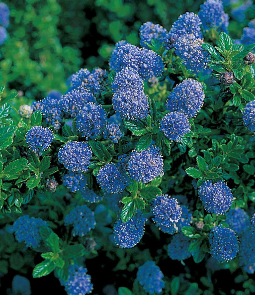 blauer ceanothus 39 blue mound 39 ceanothus bei baldur garten. Black Bedroom Furniture Sets. Home Design Ideas