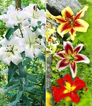 Tree-Lily®-Kollektion 4 Farben