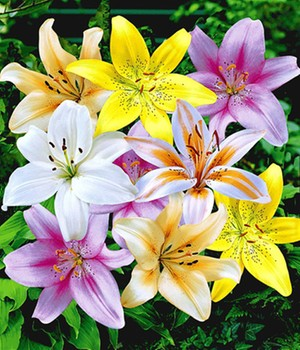 Blumenzwiebeln for Baldur garten katalog anfordern